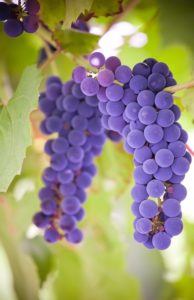 особенности винограда изабелла