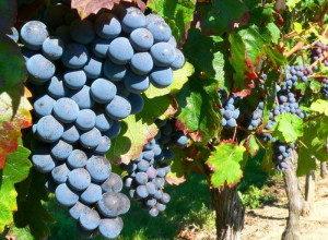 гроздь винограда изабеллы