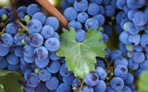 изабелла вид винограда