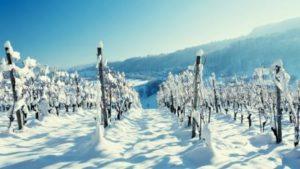 как укрыть виноград на зиму снегом