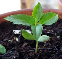 высаживание семечек в грунт