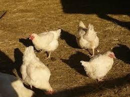 бройлерные породы кур