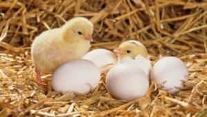вылупившиеся цыплята