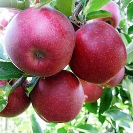 Яблоня джонаголд описание фото