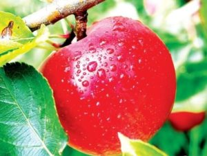 устойчивые яблони к парше