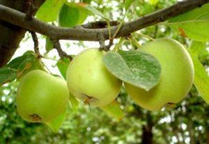 яблони для средней полосы