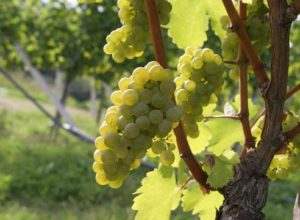 неукрывные сорта винограда