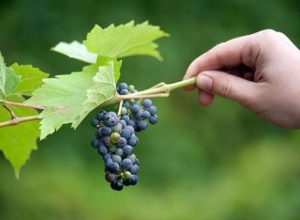 виноград амурский уход