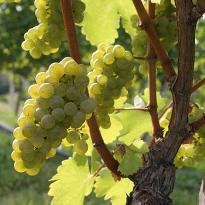 северный виноград выращивание