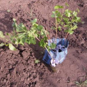 осенняя высадка саженцев винограда