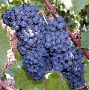 виноград памяти голодриги