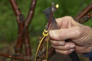 методы прививки винограда