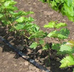 посадка винограда черенками летом