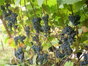 урожайный виноград амурский