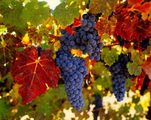 виноград амурский факты