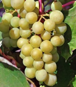 виноград прейри стар