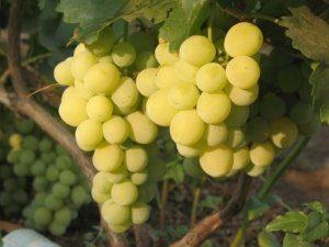 валентина сорт винограда