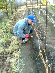 Обработка винограда осенью
