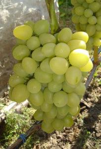 популярные ранние сорта винограда