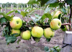яблоки синап северный