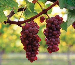 сорт винограда пино гриджио