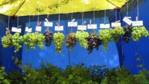 устойчивые сорта винограда