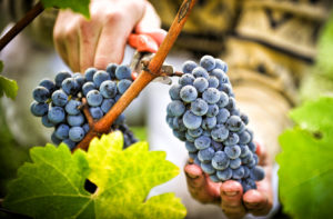 сбор ягод винограда