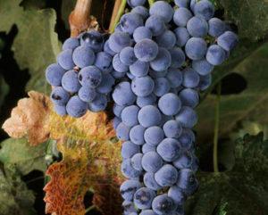 виноград мерло