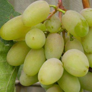 сорт винограда кокл белый