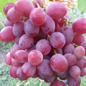 сорт винограда анюта