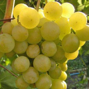 сорт винограда галбена ноу