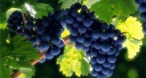 виноград для средней полосы россии сорта