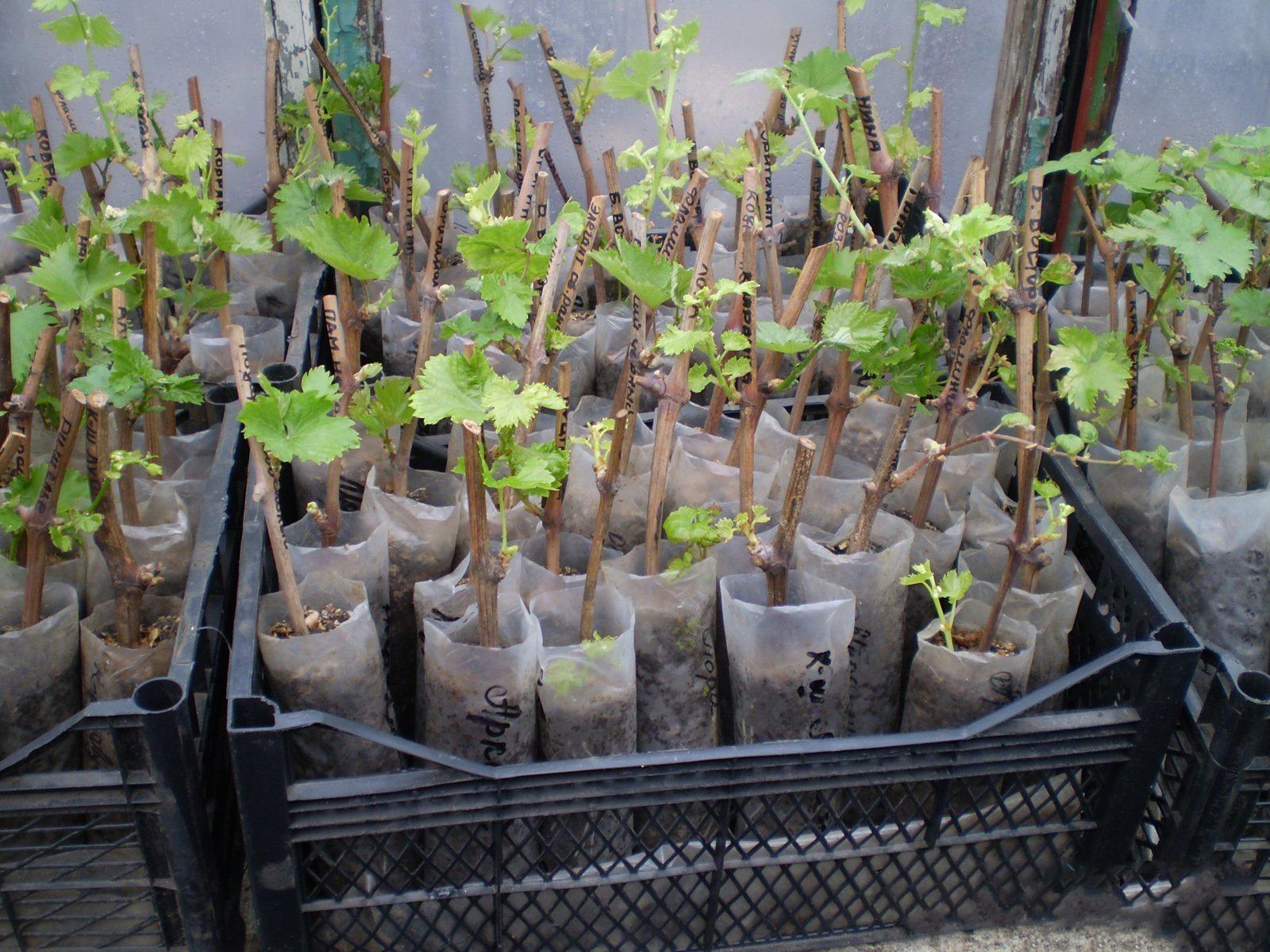 Заготовка черенков винограда на весну