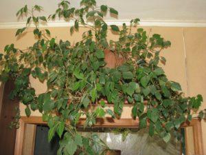 домашний виноград-комнатное растение