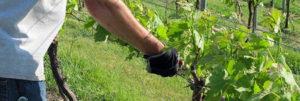 летний уход за виноградом