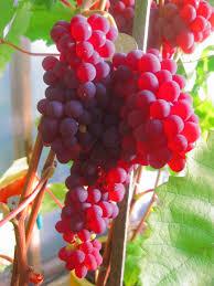 лучшие виды красного винограда