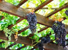 неукрывной виноград для беседки