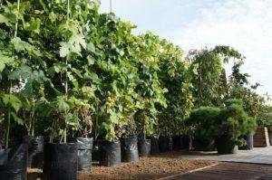 саженцы винограда в питомнике покупка