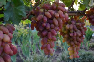 урожайность винограда преображение