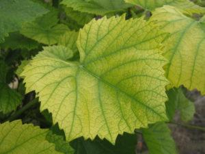виноград болезни листьев