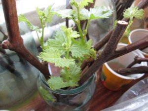 выращивание винограда из зеленых черенков
