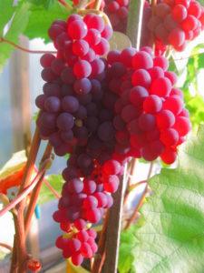преимущества сверхранних сортов винограда