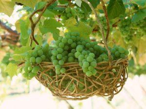 укрывные сорта винограда