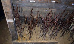 хранение в погребе черенков винограда