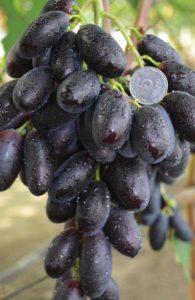 сорт винограда первенец ранний