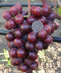 сорт винограда подарок несветая