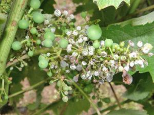 поражение соцветий и завязей винограда милдью