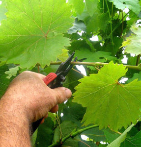 когда обрезают виноград летом