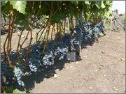 формирование виноградных кустов по акованцева