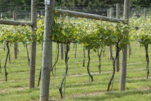 использование шпалер для винограда
